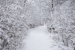 Snowy Trees and Trail (Winnebago Conservation Photography) Tags: trees winter snow cold walking hiking branches snowstorm trail snowfall
