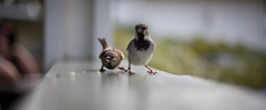 don´t mess with us.. (paul.wienerroither) Tags: travel bird nature birds animal canon photography 50mm hawaii focus dof bokeh maui sharp hi upcountry 5dmk3