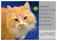 Sapphire-Adopted (Ali Crehan) Tags: cat february shelter adopted 2016