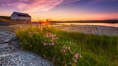 Summer Evening (Trond Strmme) Tags: flowers sunset sea summer sun grass norway landscape outdoor raggedrobin nordnorge midnightsun caryophyllaceae nordland northnorway hanekam lychnisfloscuculi hamary fitje