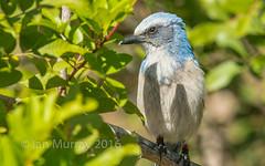 IMG_5274 Endangered Cape Coral Scrub Jay (Wallace River) Tags: florida endangered scrubjay capecoral