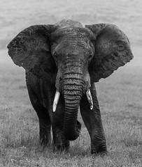 _DSG6845.jpg (sylvainbenoist) Tags: elephant nature nb ngorongoro animaux sites tanzanie mammifères