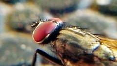 #macro (kazal1968) Tags: macro nature insect fly bd bdmacro kazal1968 saifulaminkazal
