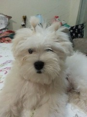 Romeu (Regiane.Melo) Tags: animal branco cachorro quarto cama macho decorao estimao ursos almofadas plo malts