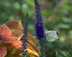 Summer Daze (KsCattails) Tags: white plant flower nature butterfly insect nikon purple outdoor veronica kansas overlandpark speedwell overlandparkarboretum d7000 kscattails