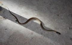Baby Eastern Brown Snake (Snake Out! Brisbane Snake Catchers) Tags: brown nature animals snake australia brisbane queensland wildlifephotography snakeremoval brisbanesnakecatcher snakecatcherbrisbane snakeoutbrisbane
