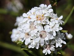 Ixodia 2 (Boobook48) Tags: white flower flora australia victoria heath daisy asteraceae anglesea ixodia ixodiaachillaeoidessubspalata