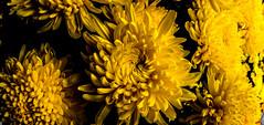 Gold (aludatan) Tags: flowers image sigma fisheye penang  chrysanthemum asteraceae  streetshot kekloksi astounding  magnoliophyta magnoliopsida asterales    astoundingimage  club16 chrysos      anthemon
