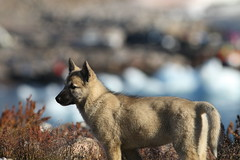 Greenland Dog Pup (Derbyshire Harrier) Tags: autumn dog village arctic greenland inuit pup tundra settlement huskie 2015 sledgedog ittoqqortoormiit scoresbysund greenlanders easterngreenland greenlanddog oceanwideexpeditions mvplancius