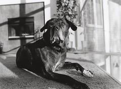 Maddi 2 (Wyatt Ryan) Tags: lighting food dog film dogs window puppy carpet puppies fireplace calm bone doggy brindle railing playful distraction rawhide 400iso