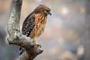 Red-Shouldered Hawk (Nikographer [Jon]) Tags: winter male march mar nikon redshoulderedhawk d4 2016 rsh nikographer nikond4 20160306d4213357