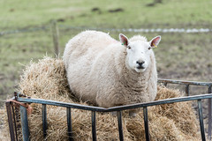 Eating For Two, Probably Three (martin.ellis) Tags: england nikon sheep feeding unitedkingdom northumberland silage d800 rothbury martinellis ewe thropton whitefaced coquetdale rivercoquet hepple cheviotsheep hepplewhitefield martinandjohnphotograpycouk