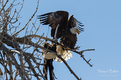 Bald Eagles copulating sequence - 20 of 28