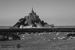 MONT-SAINT-MICHEL 47 (filippi antonio) Tags: blackandwhite france grass landscape sheep erba normandie normandy francia paesaggio biancoenero montsaintmichel normandia pecore prssals prati pascoli mounton