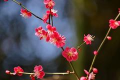 梅宮大社の梅 (nobuflickr) Tags: flower nature japan kyoto 京都 神社 japaneseapricot ウメ prunusmume 梅宮大社 バラ科サクラ属 umenomiyajinja 20160302dsc02875