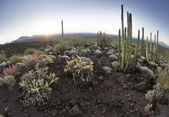 Organ Pipe Cactus National Monument (BongoInc) Tags: arizona cactus landscape fisheye sonorandesert volcanicrock panasoniclumix organpipecactusnationalmonument 8mmfisheye lumixgm5
