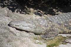 Coccodrillo del Mississippi (Mauro_Amoroso) Tags: wild nature animal animals zoo nikon adventures nationalgeographic natgeo nital lecornelle parcofaunistico nikonitalia parcofaunisticolecornelle