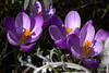 Wijdopen Krokussen (Henk M gardenphotoblog) Tags: flowers winter garden outdoor tuin signofspring lenteteken nimg0536