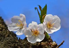 Cherry blossom, Tokyo Ichihara Ohoribata (sapphire_rouge) Tags: 早咲桜 kagurazaka hanami 春 spring japanese mejiro pink cherryblossom 花見 cherry tokyo japan メジロ sakura ant 日本 桜