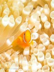 Hi ! (Kazuma U) Tags: japan underwater scuba diving olympus okinawa padi 沖縄 anemonefish seaanemone ダイビング underwaterphoto クマノミ イソギンチャク inon 水中写真