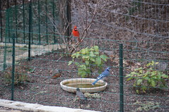 Bird bath time (bpalkowsky) Tags: robin birdbath bluejay cardinals wintermigration texasmasternaturalist tmnglc