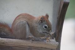 Red Squirrel at Birdfeeders from March 2016 (Saline Michigan) (cseeman) Tags: squirrel michigan birdfeeder feeder perch hungry saline redsquirrel squirrelfeeder redsquirrel032016