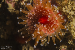 Strawberry Anenomie (worldwithin) Tags: canon underwater 7d 100mmmacrof28