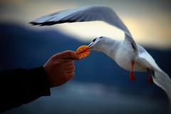 Mart (leventblt) Tags: canon seagull sokak mart hayvan canonphotos catchthemoment dekim anyakala