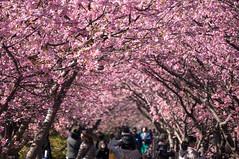 Sakura Tunnel (bamboo_sasa) Tags: pink flower japan cherry spring blossoms 桜 日本 sakura cherryblossoms 花 shizuoka izu 春 kawazu 静岡 伊豆 河津 河津桜
