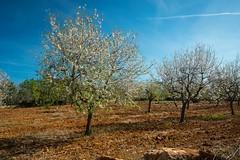 Almond blossom on Majorca (Burnett0305) Tags: nature landscape spain blossom natur olympus blte landschaft mallorca spanien majorca almondblossom balearicislands mandelblte 1240 landschaftnatur balearischeinseln mzuiko olympusomdem5markii mzuikodigitaled1240mm128pro