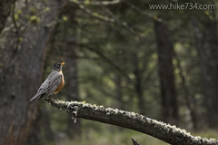 """American Robin • <a style=""""font-size:0.8em;"""" href=""""http://www.flickr.com/photos/63501323@N07/25714668892/"""" target=""""_blank"""">View on Flickr</a>"""