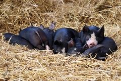 Brinsbury Farm- Sleeping Piglets (Jasmine'sCamera) Tags: baby animal pig cow sheep farm farming lamb calf lambing pigglet