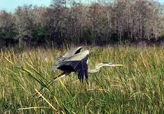 Outta Here (PelicanPete) Tags: blue wild usa bird nature beauty animal bill inflight woods unitedstates forrest florida wildlife depthoffield longneck national wetlands handheld tall waterfowl palmbeach takeoff wingspan thick greatblueheron refuge southflorida sawgrass loxahatchee ardeidae ardeaherodias gbh outtahere inthewild palmbeachflorida thelaunch aquaticbird avianexcellence aviancapture dmslair