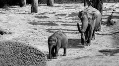 Elephants (riese.laurenc) Tags: blackandwhite bw white black animals zoo nikon action sigma 300mm shooting 300 zrich weiss schwarz 70210 70210mm zrichzoo
