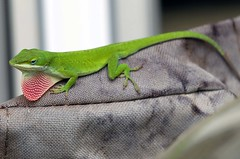 GREEN ANOLE RED THROATED  LIZARD.     (11) (komissarov_a) Tags: blue summer brown black cold macro green animal yellow breakfast canon fun streetphotography grill lizard camouflage 5d anole layers prey m3 cells chameleon stressed pigment predators     colorchanging pigmentation      chromatophores melanophores  americanredthroated xanthophores cyanophores rgbkomissarova