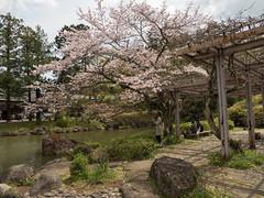 P1590724 (Rambalac) Tags: asia japan lumixgh4 flowers plant pond sakura water азия япония вода пруд растение сакура цветы