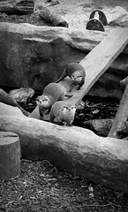 DSC_0357 (abi.rayner) Tags: blackandwhite cute nature monochrome animals river photography photo wildlife otter torquay otters tonal
