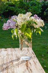 Fliederstrau_1918.jpg (waldemar.langolf) Tags: lila vase blte frhling straus duft flieder syringa weis blhend blumenstraus frhlingsblume frhlingshaft fliederstraus blumenavase duftblten