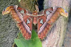 Atlas vlinder (Rene Mensen) Tags: nature butterfly insect zoo wings nikon rene large atlas nikkor drenthe vlinder mensen dierentuin dierenpark vlindertuin wildlands d5100