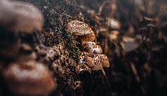 Mushrooms (Caucas') Tags: life old red hot macro tree green slr film nature mushroom wet 35mm photo nikon warm mood place bokeh live rosie trkiye soil together toadstool smurf shelter simple blacksea karadeniz basic mantar 57 dx reddish morphology 2016 sinop toprak doa agaricales sporocarp erfelek fungl ayanck nemli d7000 fungiculture