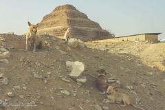 Pyramid Dogs (Sound Quality) Tags: life africa sleeping dog sun history dogs monument animals landscape outdoors temple sand rocks desert pyramid outdoor steps relaxing egypt sunny unesco step shade egyptian animales saqqara djoser steppyramid wwwmichaelwashingtonaecomhttpwwwflickrcomphotosmichaelwashingtonphotography