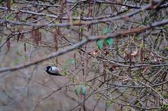 17042016DSC_0075-2.jpg (Ignacio Javier ( Nacho)) Tags: espaa flickr aves es cantabria facebook naturea faunayflora campoolosvalles