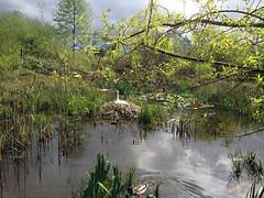 Thea's Nest (FernShade) Tags: canada nature vancouver swans pairs waterfowl mates avian nestingswans waterbirds britishcolumbia swansnesting stanleypark lostlagoon cygnusolor muteswan swansoflostlagoon lostlagoonswans swansofstanleypark stanleyparkswans tristanandthea