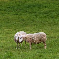 Clin (Collabois) Tags: wool animal nikon hug sheep flock pasture prairie paysage extrieur moutons mouton champ herbe laine d600 clin troupeau pturages