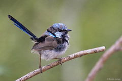 Male Superb Fairy Wren (Reptilezz) Tags: blue male bird birds animal animals creek james nikon afternoon superb action wildlife brodie australian australia brisbane fairy qld queensland wren colourful f56 nikkor common avian australasian oxley fairywren 200500mm d7100 reptilezz brodiejames