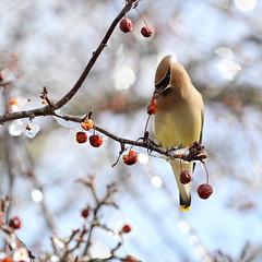 Cedar Waxwing (Doris Burfind) Tags: bird ice nature spring berries feeding outdoor wildlife icestorm cedarwaxwing