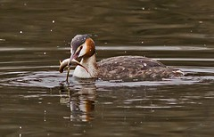 Great Crested Grebe ( podiceps cristatus ) - Gotcha !! (Mid Glam Sam1) Tags: fish wales fishing pond elements excellent series another he roach grebe greatcrestedgrebe podicepscristatus