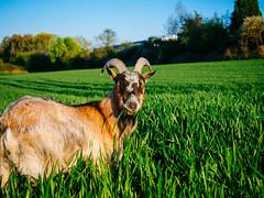 yummy (Joerg Esper) Tags: nature animal pen de landscape deutschland natur feld felder wiese goat olympus ziege landschaft tier rheinlandpfalz plaidt olympuspenepl6 olympusmzuikodigitaled1442mm13556ezpancake