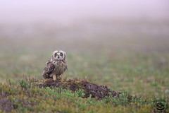 The Visitor (Megan Lorenz) Tags: wild canada bird nature newfoundland wildlife owl avian birdofprey wildanimals shortearedowl mlorenz meganlorenz