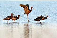 Mignattai in risaia (STE) Tags: bird water field birds landscape rice outdoor plegadis falcinellus glossy ibis acqua risaia risaie ibises mignattaio mignattai